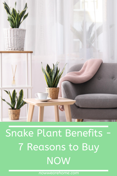 Snake Plant Benefits - 7 Reasons to Buy Now!!#snakeplant #SANSEVIERIA #motherinlawstongue #houseplants #plants #airpurifying